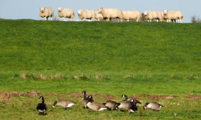 Sheep and geese