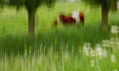 Blurred cows