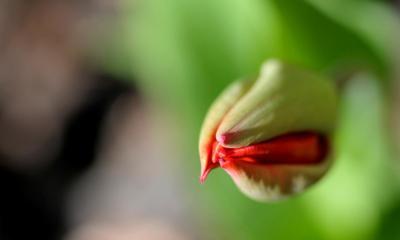 Macro Tulip